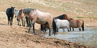 Étalon rouan rouge dans le point d'eau avec le troupeau de chevaux sauvages dans la chaîne de cheval sauvage de montagnes de Pryo Photos libres de droits