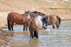 Étalon rouan rouge dans le point d'eau avec le troupeau de chevaux sauvages dans la chaîne de cheval sauvage de montagnes de Pryo Images stock