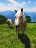 Étalons de juments de poneys de chevaux dans le pâturage vert dans les Alpes Image stock