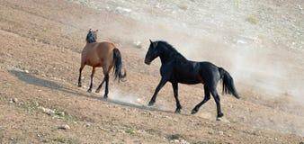 Étalons de mustang de cheval sauvage fonctionnant et combattant dans la chaîne de cheval sauvage de montagnes de Pryor à la front Photo stock