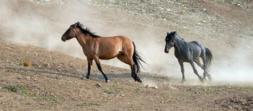 Étalons de mustang de cheval sauvage fonctionnant et combattant dans la chaîne de cheval sauvage de montagnes de Pryor à la front Photos libres de droits