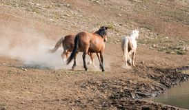 Étalons de mustang de cheval sauvage fonctionnant et combattant dans la chaîne de cheval sauvage de montagnes de Pryor à la front Photo libre de droits