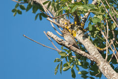 Étamine de Reed sur un arbre Images libres de droits