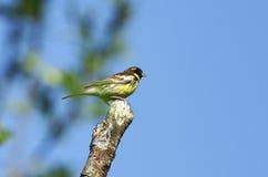 Étamine jaune-breasted commune. Images libres de droits