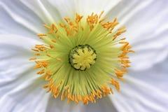 Étamine jaune de fleur de pavot Photographie stock libre de droits