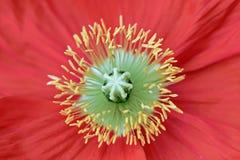 Étamine jaune de fleur rouge de pavot Image stock