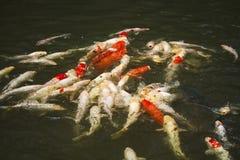 Étang à poissons de Koi image stock