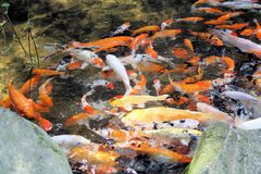 Étang à poissons de Koi Photo stock