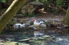 Étang avec des canards en parc de Vorontsov photo libre de droits