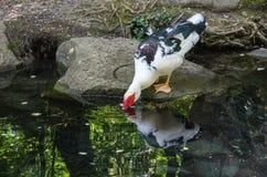 Étang avec des canards en parc de Vorontsov photos libres de droits