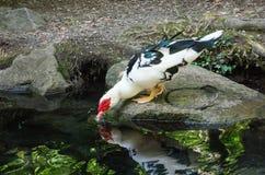 Étang avec des canards en parc de Vorontsov photo stock