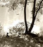 Étang avec les canards et l'arbre. Photographie stock