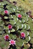 Étang complété par rose Photos stock