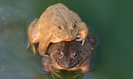 Étang d'élevage de grenouille Image libre de droits