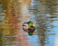 Étang de canard Image libre de droits