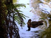 Étang de canard Photo stock