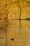 Étang de canard photographie stock