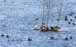 Étang de canard photos libres de droits