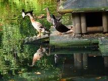 étang de canards Photo libre de droits