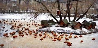 Étang de canards Photo stock