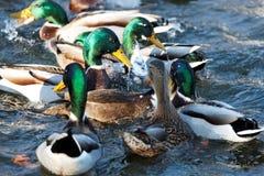 étang de canards Image stock