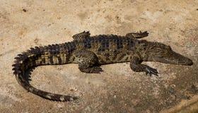 Étang de crèche de crocodiles Images stock