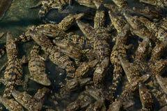 Étang de crèche de crocodiles Photographie stock