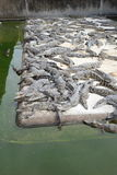 Étang de crocodile de crèche Photos libres de droits