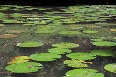 Étang de feuille de Lotus Photo libre de droits
