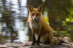 Étang 2 de Fox rouge Photos libres de droits