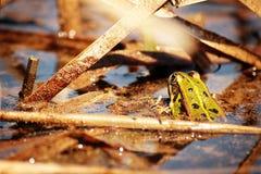 Étang de grenouille Photographie stock