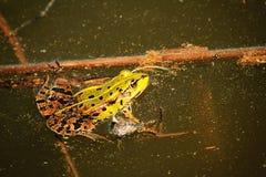 Étang de grenouille Image libre de droits