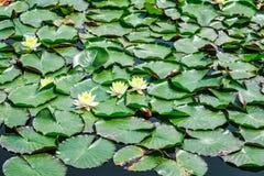 Étang de lis d'eau Photographie stock libre de droits