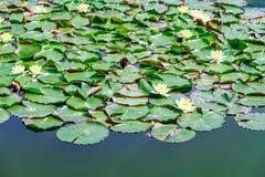 Étang de lis d'eau Images libres de droits