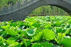 Étang de lotus Photo libre de droits