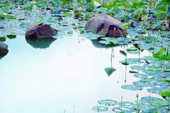 Étang de Lotus après les pluies Images stock