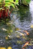 Étang de poissons de jardin Photographie stock