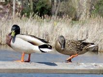 Étang de Thornhill les canards 2017 Photos libres de droits