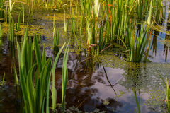 Étang envahi, lac Photo stock