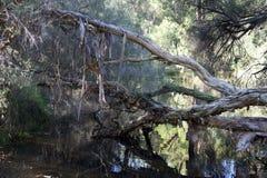 Étang mystique avec des arbres accrochant et reflétant dans l'eau Photographie stock