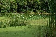 Étang vert chez Sungei Buloh Photo libre de droits