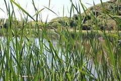 Étang vu par l'herbe grande Photo stock