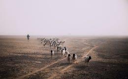 Étant berger photo libre de droits