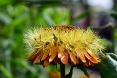 Étape de bout de fleur éternelle Image libre de droits