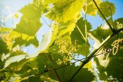 Étape de fleur de vigne Image stock