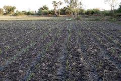 Étape haute cultivée aux champs de canne à sucre photo stock