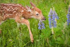 Étapes Blanc-coupées la queue de virginianus de Fawn Odocoileus de cerfs communs soigneusement Photos libres de droits