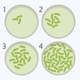 Étapes de croissance de bactéries bactérie dans des boîtes de Pétri illustration stock
