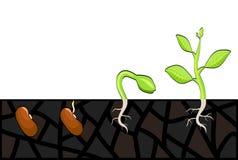 Étapes de croissance de plantes de graine à la pousse Illustration de vecteur, PE illustration stock