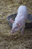 Étapes de porc de bébé dans et hors de sa casserole de petit déjeuner Image libre de droits